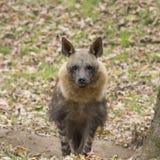 Portrait d'une hyène Image libre de droits