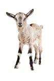 Portrait d'une jeune chèvre photo libre de droits