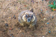 Portrait d'une marmotte Photo stock