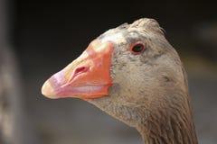 Portrait d'une oie cendrée images libres de droits