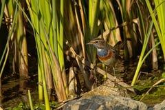 Portrait d'une petite gorge bleue se reposant sur une pierre dans le roseau Photo stock