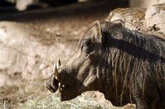 Portrait d'une phacochère dans le profil photos libres de droits