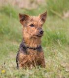 Portrait d'une race masculine de croix de Yorkshire Terrier Photographie stock