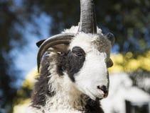 Portrait d'une RAM avec des klaxons Photographie stock