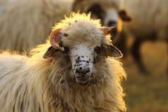 Portrait d'une RAM près de la ferme Photographie stock