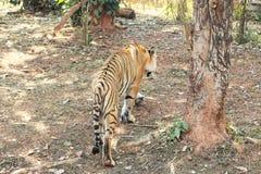 Portrait d'une tigresse de tigre photos libres de droits