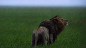 Portrait d'uner de lion la pluie, prairie d'Okavango de delta d'Okavango, Botswana, Afrique du sud-ouest photographie stock libre de droits