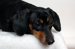 Portrait of a dachshund. Horizontal portrait of a dachshund with dark brown eyes and wistful expression royalty free stock images
