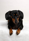 Portrait of a dachshund. Frontal view of a dachshund lying on a white towel. Portrait orientation stock photos