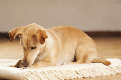 Portrait of a dachshund Stock Photos