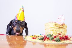 Portrait of a dachshund, black and tan, with licking tongue and hungry for a happy birthday cake with candle 9 ,wearing party h. At stock photo