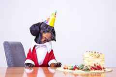 Portrait of a dachshund, black and tan, looking and hungry for a happy birthday cake ,wearing red sweater and white shirt and p. Arty hat stock photos