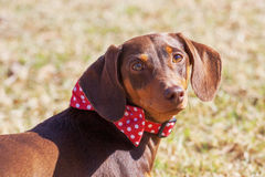 Portrait of  dachshund Royalty Free Stock Photography