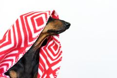 Portrait dachshund dog, black and tan, hid in a red plaid, peeking his nose, looking to the side. not isolate.  royalty free stock photo