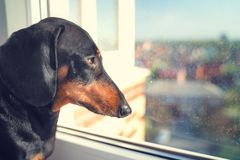 Portrait of a dachshund dog, black and tan, sadly looks out the window into the street awaiting the return of the owner  to come h stock photo