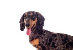 Portrait of a dachshund dog looks. A portrait of a dachshund dog looks Royalty Free Stock Photography
