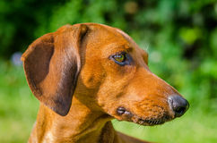 Portrait of dachshund dog at park Stock Image