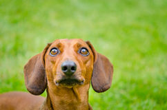 Portrait of dachshund dog at park Stock Photography