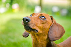 Portrait of dachshund dog at park Royalty Free Stock Photos