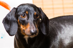 Portrait of dachshund Royalty Free Stock Images