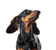 Portrait of dachshund isolated on white Stock Images