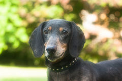 Portrait of dachshund. Pictured at the portrait of dachshund Royalty Free Stock Images