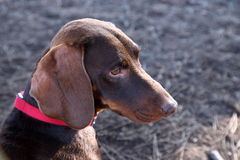 Portrait of a dachshund. A dachshund sitting and looking around at a dog park Stock Photo