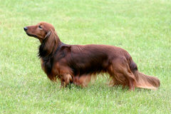 The portrait of Dachshund Standard Long-haired Red Stock Image