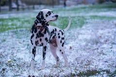 Portrait of dalmatian dog Stock Images
