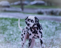 Portrait of dalmatian dog Royalty Free Stock Images