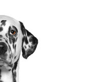 Portrait of dalmatian dog breed. White background. Portrait of dalmatian dog breed. Isolate. White background Royalty Free Stock Images