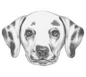 Portrait of Dalmatian Dog. Royalty Free Stock Image
