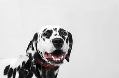 Portrait of a dalmatian dog laughing Stock Photography