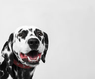 Portrait of a dalmatian dog laughing Royalty Free Stock Images