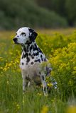 Portrait of dalmatian on meadow Royalty Free Stock Images