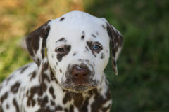Portrait of Dalmatian puppy with unequal eyecolor stock photos