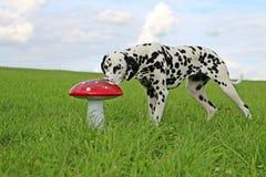 Portrait dalmatien de chien dans le jardin Images stock