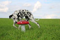 Portrait dalmatien de chien dans le jardin Photo stock