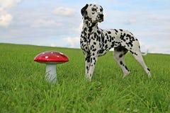 Portrait dalmatien de chien dans le jardin Image libre de droits