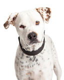 Portrait Dalmation Crossbreed Dog royalty free stock image