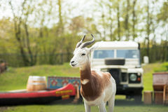 Portrait of a Dama gazelle in the background a Jeep and forest . Royalty Free Stock Photo