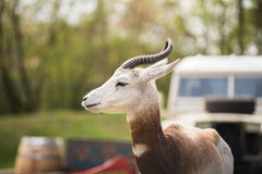 Portrait of a Dama gazelle in the background a Jeep and forest . Stock Images