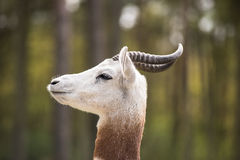 Portrait of a Dama gazelle in the background a Jeep and forest . Royalty Free Stock Photos