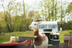 Portrait of a Dama gazelle in the background a Jeep and forest . Stock Photo