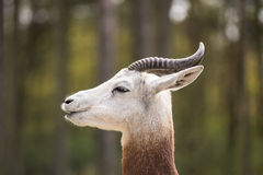 Portrait of a Dama gazelle in the background a Jeep and forest . Royalty Free Stock Images