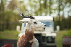 Portrait of a Dama gazelle in the background a Jeep and forest . Royalty Free Stock Photography