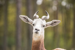 Portrait of a Dama gazelle in the background a Jeep and forest . Royalty Free Stock Image