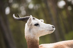 Portrait of a Dama gazelle in the background a Jeep and forest . Stock Image