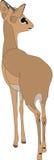 Portrait of a  damara dik dik, standing Royalty Free Stock Images