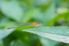 Portrait of damselfly. With green background Royalty Free Stock Photo